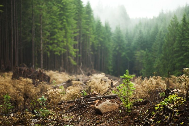 Regrowth-in-logged-area--cm
