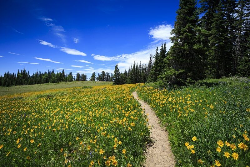 Wildflower-Path-at-Cedar-Breaks-cm